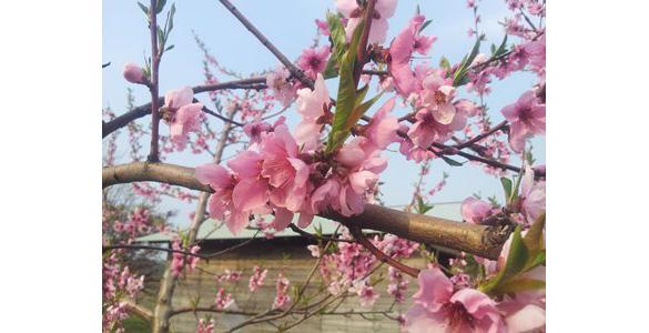 ネクタリンの花