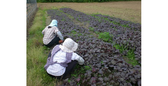 紫蘇の苗植え